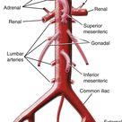 Vascular Anatomy of the Pelvis