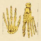 Print of Bones of Hands and Foot