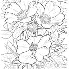 North Dakota State Flower coloring page | Free Printable Coloring Pages