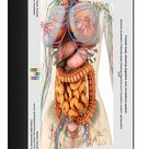 Female body showing digestive and circulatory system. 1000 Piece Puzzle. Medical illustration of female body showing digestive and circulatory system.