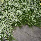 Photo of the entire plant of Creeping Thyme Thymus serpyllum 'Albus'