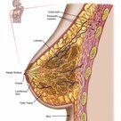 Framed Photo. Anatomy of the female breast