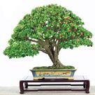 Self-fertile Asian Cherry Fruit Seeds
