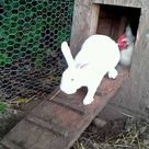 Rabbits living with chickens??