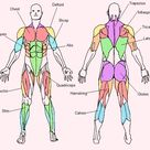 FREE MUSCLE CHART DOWNLOAD