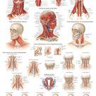 YOGISHOP | Muskulatur des Halses (Poster 50cm x 70cm) | Yoga, Yogamatten & Yoga-Zubehör