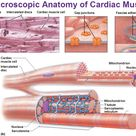 What is the function of cardiac muscles cells   Socratic