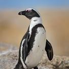 African Penguins   Spheniscus demersus