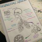Human Respiratory System A Level Biology