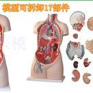182.02€ 9 de DESCUENTO Torso humano anatómico de 85CM y 17 Partes, modelo de órganos humanos, modelo de tronco, modelo de anatomía model motoring slot cars model matteranatomy train   AliExpress