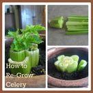 Regrow Celery