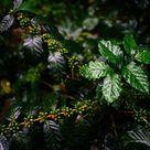 Ethiopian Yirgacheffe Biloya Anaerobic Process Natural Grade 1 Fresh 100% Arabica Coffee Beans, 1-10 lbs. Selection