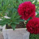 Pfingstrosen im Kübel halten: Tipps zum Pflanzen und Pflegen