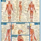 QuickStudy   Muscular System Laminated Study Guide