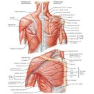 Muscles of Shoulder Anatomy