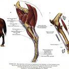 Equine & Science   For equine professionals   Rupture of the peroneus tertius tendon in 27 horses