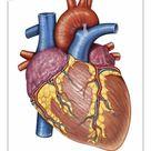 10 inch Photo. Gross anatomy of the human heart