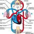 What is the function of the circulatory system?
