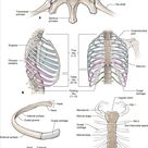 Chapter 2. Anterior Thoracic Wall | The Big Picture: Gross Anatomy | AccessMedicine | McGraw-Hill Medical