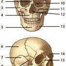 The Human Skull, Quiz 1