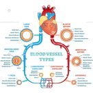 Blood vessel types anatomical diagram