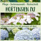 Hortensien PFlege 1x1