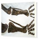 Box Canvas Print. Fossilized dinosaur bones at the Museum of