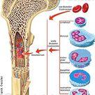 Anatomie des Menschen - Organsysteme - Physiologie