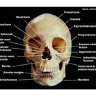 Lab 6, Axial Skeleton Skeletal System Orange = axial skeleton -  ppt video online download