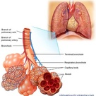 Lungs and air ducts