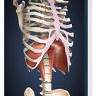 Box Canvas Print. Visualization of human diaphragm