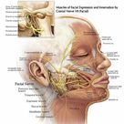 The Path of the Facial Nerve Through the Temporal Bone and the Muscles of Facial Expression and Innervation by Cranial Nerve VII Facial Nerve