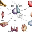 Medical Significance Of Hormones In The Endocrine System: Their Metabolism, Actions And Receptors