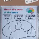 Brain Anatomy, Parts of the Brain, Learn about Human Body, Printables for Kids, Homeschool Resources