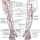 Physiology of adult Homo sapiens   Systemic blood and lymph circulation angiology