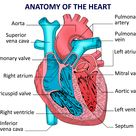 Human heart anatomy. Vector diagram