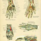 Hand and Wrist Anatomy Poster