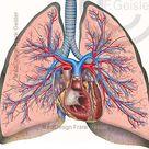 Respiratorisches System des Menschen -