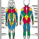 pictures of the muscular rsystem for kids