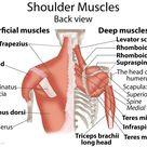 Shoulder Muscles Anatomy, Actions, Diagram - eHealthStar
