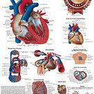 HUMAN HEART MEDICAL DIAGRAM CHART INFORMATIONAL ANATOMY PRINT PREMIUM POSTER