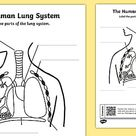 KS2 The Human Lungs QR Labelling Activity