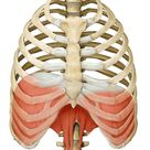 Diaphragm: Learn Your Muscles