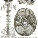 nervous system spinal cord brain cranial nerve cerebrum diagram chart anatomical cross section sensory perception neural pathway Stock Photo - Alamy