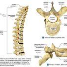 Thoracic vertebrae structure   Science online