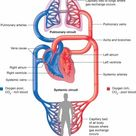 Pictures Of The Circulatory System Diagram