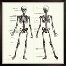 10 inch Photo. Labelled Human Skeleton. Engraving