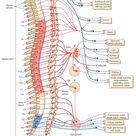 The Autonomic Nervous System (Integrative Systems) Part 1