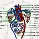 The Human Circulatory System I