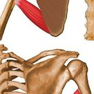 Teres Major - UW Radiology
